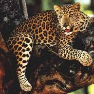 leopard, wildlife tour package South india